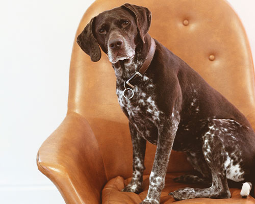A white and brown dog sitting on a leather chair.
