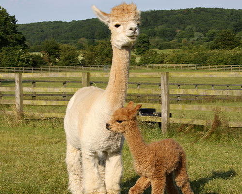 A mother alpaca and baby alpaca